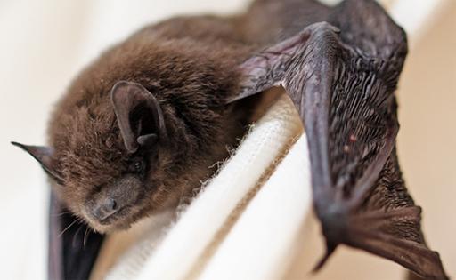 Descartan aumento de ejemplares enfermos — Murciélagos con rabia
